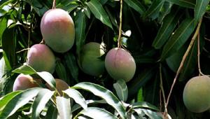 Beurre de Mangue de l'Inde Dr. Hauschka
